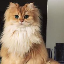 gato-mais-bonito-da-internet-bluebus-capa