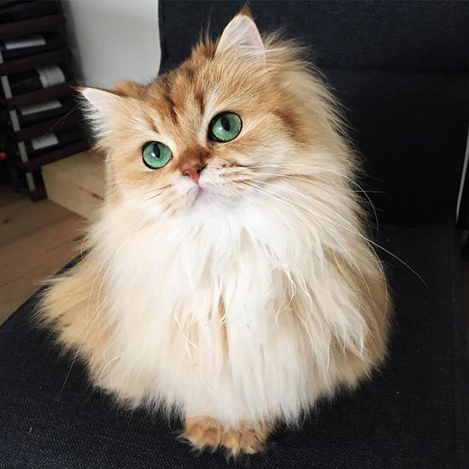 gato-mais-bonito-da-internet-bluebus1