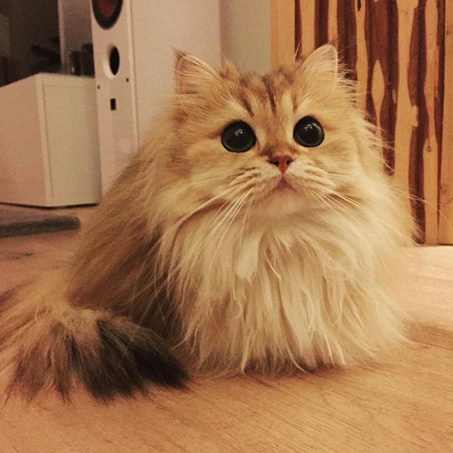 gato-mais-bonito-da-internet-bluebus2