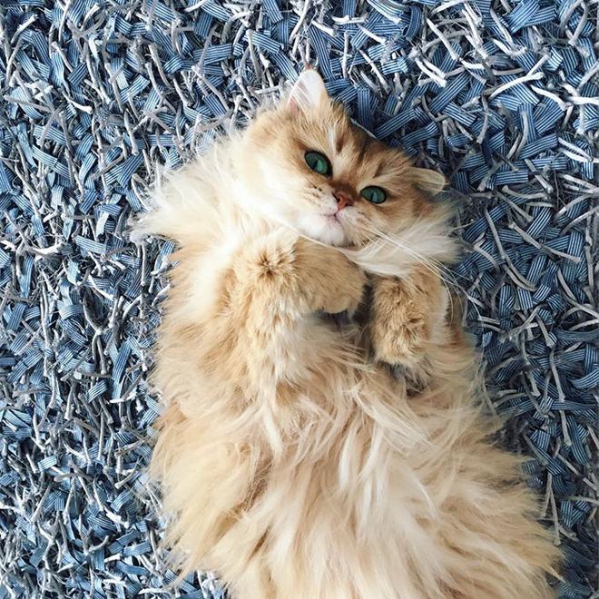 gato-mais-bonito-da-internet-bluebus5