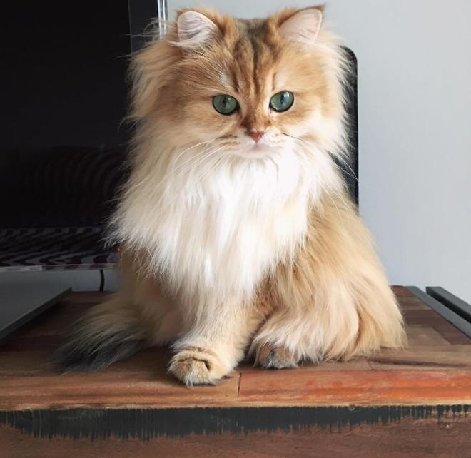 gato-mais-bonito-da-internet-bluebus6