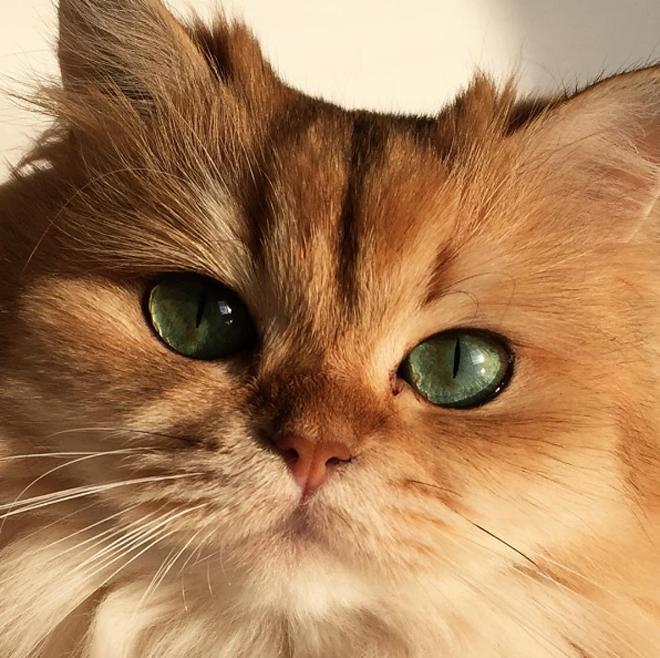 gato-mais-bonito-da-internet-bluebus7
